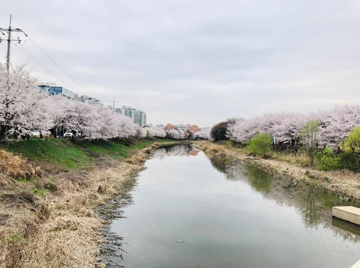 황구지천의 벚꽃 길