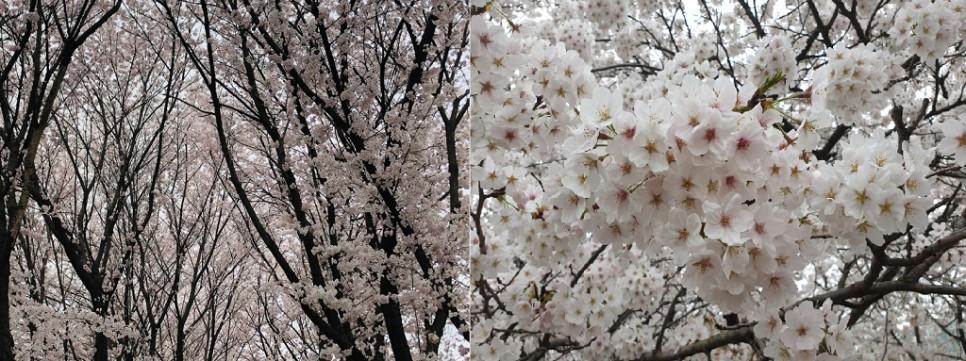 황구지천의 벚꽃이 활짝 핀 모습