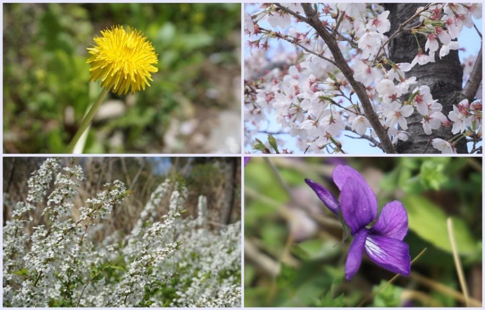 광교호수공원에서 만날 수 있는 다양한 봄꽃들이 아름답다.