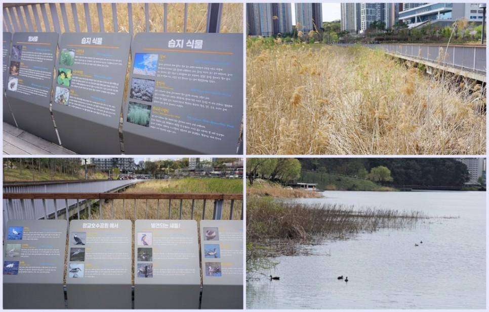 많은 새들이 찾아오는 광교호수공원은 생태교육학습장으로 손색이 없다.
