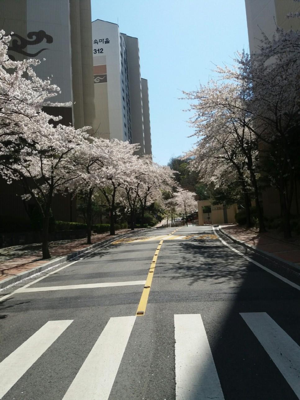 아파트 단지 내 활짝 핀 벚꽃 길 풍경